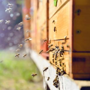 Stupina, apicultori, apicultura